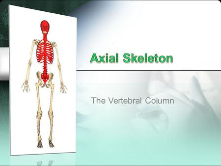 The Vertebral Column. Extends from skull (supports the skull) to the pelvis (distributes weight to lower limbs) Five sections: cervical, thoracic, lumbar,