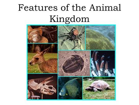 Features of the Animal Kingdom. Characteristics of all animals Cell organization: –Multicellular –Eukaryotic –No cell wall Obtain food: –Heterotrophic.