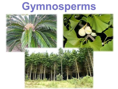 Gymnosperms Group 3: Seed producing, Vascular Plants Gymnosperms –C–Cycads –G–Ginko –C–Conifers Angiosperms.