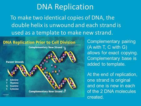 DNA Replication To make two identical copies of DNA, the double helix is unwound and each strand is used as a template to make new strand. Complementary.