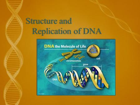 Structure and Replication of DNA. Objectives 3.3.1 - Outline DNA nucleotide structure in terms of sugar (deoxyribose), base, and phosphate. 3.3.2 – State.