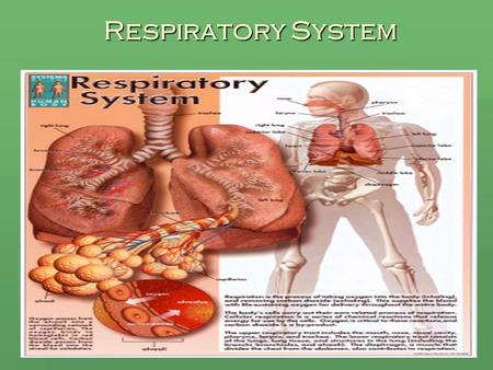 Respiratory System. Function of the Lungs  Supplies oxygen to the blood by inhaling. This oxygen is then carried to all the cells of the body.  Removes.