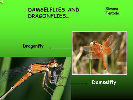 Dragonfly DAMSELFLIES AND DRAGONFLIES… Simona Terzolo Damselfly.