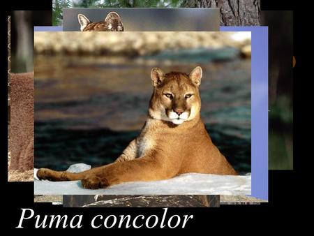 Puma concolor. Chapter 2 Classification 1 Classification means organizing living things into groups based on their similarities. 2 Scientists classify.
