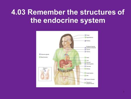 4.03 Remember the structures of the endocrine system 1.