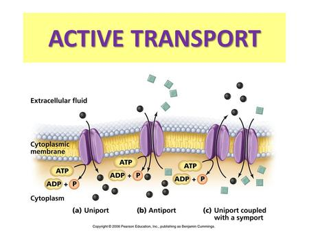ACTIVE TRANSPORT In many cases, cells must move materials from an area of lower concentration to an area of higher concentration. Higher conc Lower conc.