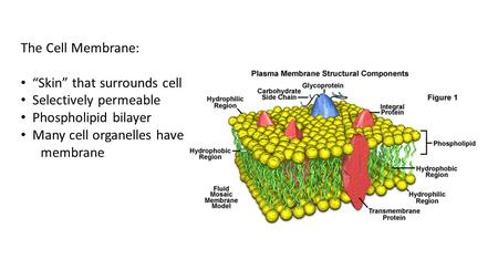 "The Cell Membrane: ""Skin"" that surrounds cell Selectively permeable"