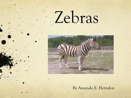 Zebras By Amanda E. Herndon. What do zebras look like?? Zebras have black and white strips. The largest zebra is the Grevy zebra. They belong to the horse.