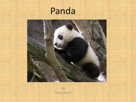 Panda By: Kate Doherty. Classification and Description Dang shaw Ma hoo;bear 350 pounds;6 feet from nose to tail; Mammal Rough fur, black and white Size.