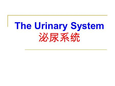 The Urinary System 泌尿系统