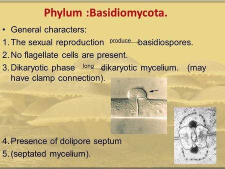 Phylum :Basidiomycota. General characters: 1.The sexual reproduction produce basidiospores. 2.No flagellate cells are present. 3.Dikaryotic phase long.
