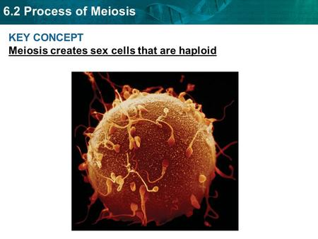 6.2 Process of Meiosis KEY CONCEPT Meiosis creates sex cells that are haploid.