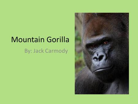 Mountain Gorilla By: Jack Carmody. Classification and Description Gorilla beringei beringei Mammal 600 to 650 pounds; 6 feet tall A whole lot cuter when.