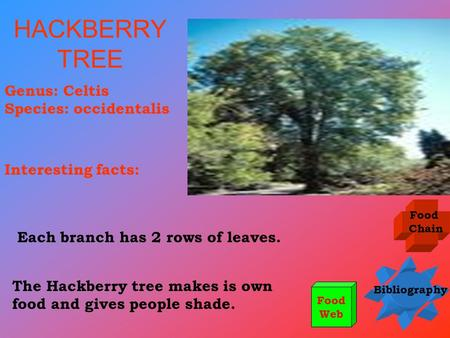 HACKBERRY TREE Genus: Celtis Species: occidentalis Interesting facts: Food Chain Bibliography Food Web The Hackberry tree makes is own food and gives people.