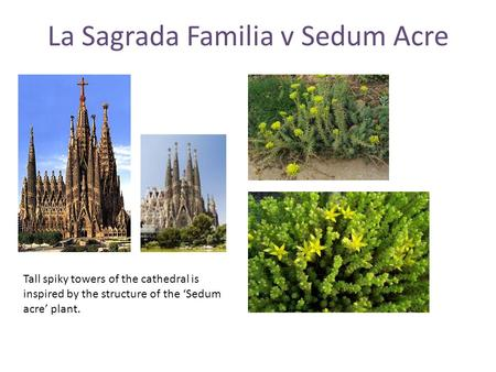 La Sagrada Familia v Sedum Acre Tall spiky towers of the cathedral is inspired by the structure of the 'Sedum acre' plant.