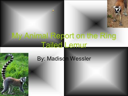 My Animal Report on the Ring Tailed Lemur By: Madison Wessler.