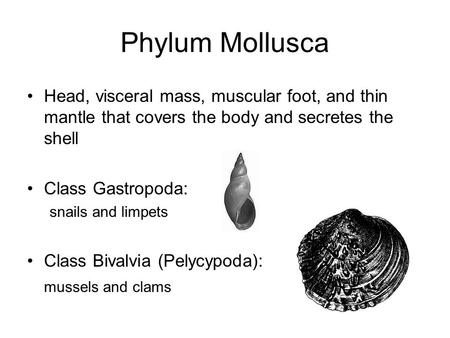 Phylum Mollusca Head, visceral mass, muscular foot, and thin mantle that covers the body and secretes the shell Class Gastropoda: snails and limpets Class.