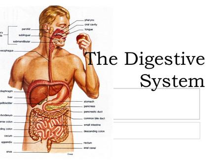 The Digestive System. What is the function of the digestive system?  Convert and break down foods into simpler molecules that can be absorbed by the.