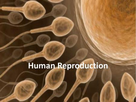 Human Reproduction. Outline Male Anatomy Female Anatomy Spermatogenesis Oogenesis Menstrual Cycle Fertilization Pregnancy and Childbirth.