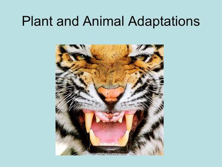Plant and Animal Adaptations. Adaptation An adaptation is a structure or behavior that helps organisms survive in their surroundings. A structure is a.