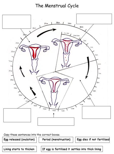 The Menstrual Cycle Copy these sentences into the correct boxes. Egg released (ovulation) Period (menstruation) Egg dies if not fertilised Lining starts.