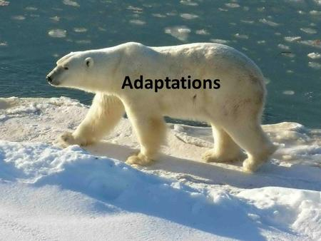 Adaptations. What is an adaptation? An adaptation is any structure, process, or behavior that helps an organism survive in its environment. In an ever.