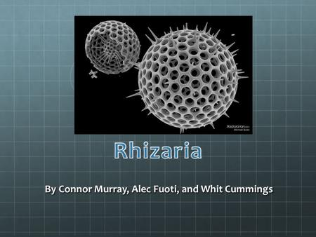 By Connor Murray, Alec Fuoti, and Whit Cummings. Rhizaria is one of the five supergroups of protists, made up mostly by unicellular eukaryotes They exist.