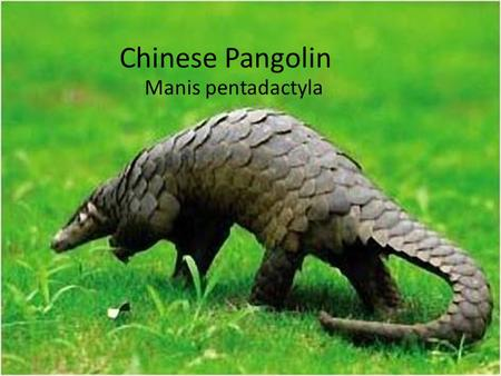 Chinese Pangolin Manis pentadactyla. Characteristics They can vary from 3.5 lb to 75lb! Males weight 10% to 50% more than females They are 12 to 35 inches.