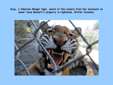 Suzy, a Siberian-Bengal tiger, snarls at the camera from her enclosure on owner Dave Bennett's property in Highlands, British Columbia.