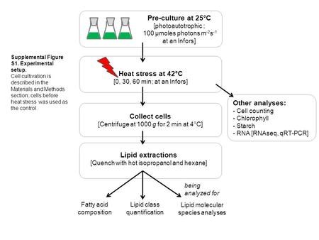 Lipid extractions [Quench with hot isopropanol and hexane] Heat stress at 42°C [0, 30, 60 min; at an Infors] Collect cells [Centrifuge at 1000 g for 2.