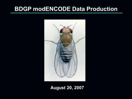 August 20, 2007 BDGP modENCODE Data Production. BDGP Data Production Project Goals 21,000 RACE experiments 6,000 cDNA's from directed screening and full.