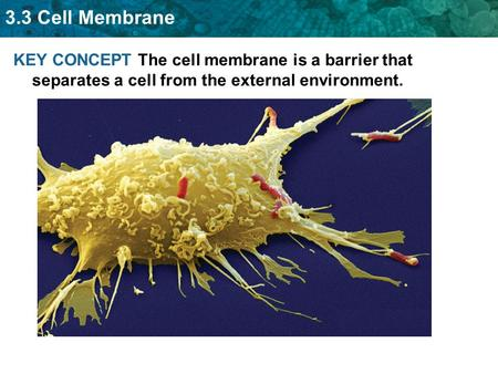 3.3 Cell Membrane KEY CONCEPT The cell membrane is a barrier that separates a cell from the external environment.
