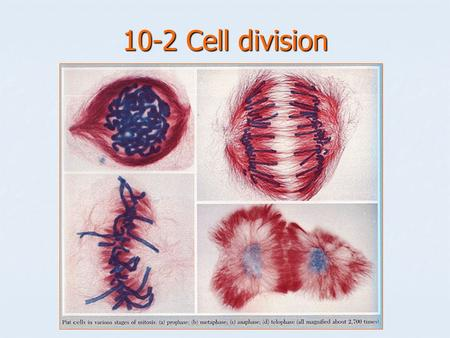 10-2 Cell division. 2 phases of cell division Mitosis: division of the cell nucleus, including DNA replication. Mitosis: division of the cell nucleus,