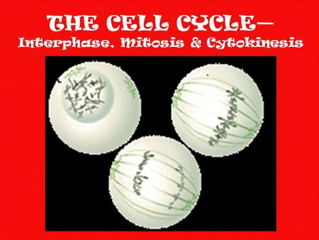 THE CELL CYCLE— Interphase, Mitosis & Cytokinesis.