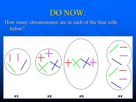 DO NOW: How many chromosomes are in each of the four cells below?