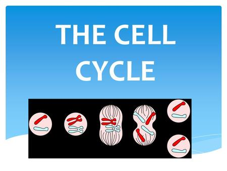 THE CELL CYCLE. Producing new BODY cells allows you to: 1. Grow 2. Replace dead cells Ex: Stomach so acidic that cells lining must be replaced every few.