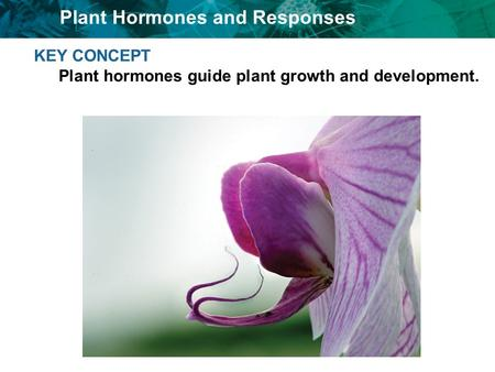 Plant Hormones and Responses KEY CONCEPT Plant hormones guide plant growth and development.