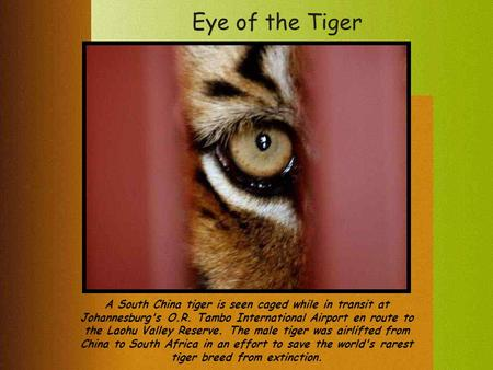 Eye of the Tiger A South China tiger is seen caged while in transit at Johannesburg's O.R. Tambo International Airport en route to the Laohu Valley Reserve.