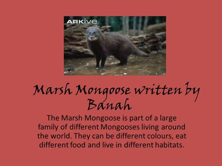 Marsh Mongoose written by Banah The Marsh Mongoose is part of a large family of different Mongooses living around the world. They can be different colours,