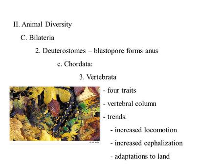 II. Animal Diversity C. Bilateria 2. Deuterostomes – blastopore forms anus c. Chordata: 3. Vertebrata - four traits - vertebral column - trends: - increased.
