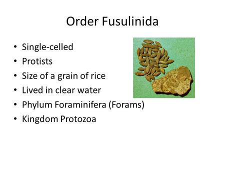 Order Fusulinida Single-celled Protists Size of a grain of rice Lived in clear water Phylum Foraminifera (Forams) Kingdom Protozoa.