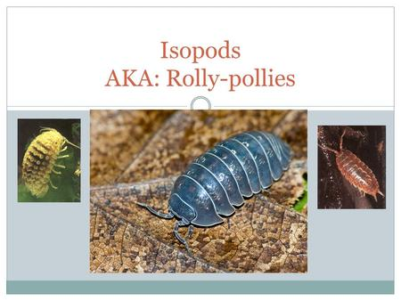 Isopods AKA: Rolly-pollies