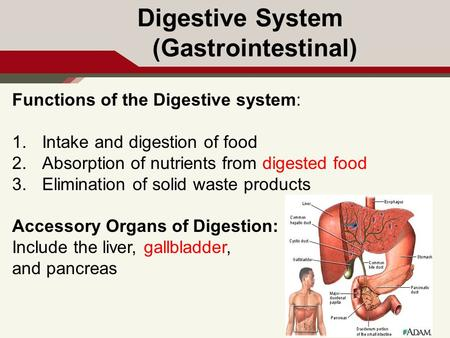 Digestive System (Gastrointestinal) Functions of the Digestive system: 1.Intake and digestion of food 2.Absorption of nutrients from digested food 3.Elimination.
