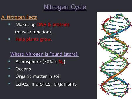 Nitrogen Cycle A. Nitrogen Facts  Makes up DNA & proteins (muscle function). (muscle function).  Help plants grow. Where Nitrogen is Found (store): 