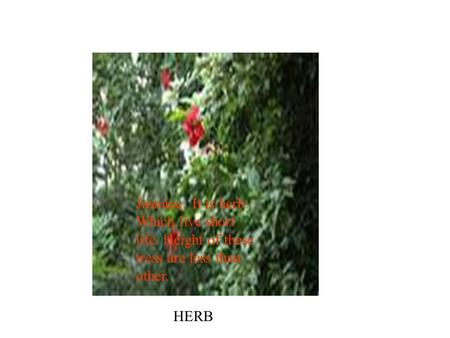 HERB Jasmine: It is herb. Which live short life. Height of these tress are less than other.