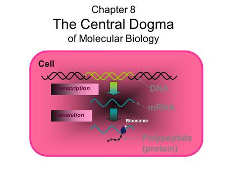 DNA mRNA Transcription Chapter 8 The Central Dogma of Molecular Biology Cell Polypeptide (protein) Translation Ribosome.