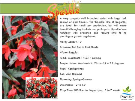 A very compact well branched series with large red, salmon or pink flowers. The 'Sparkle' line of begonias are ideal for small pot production, but will.