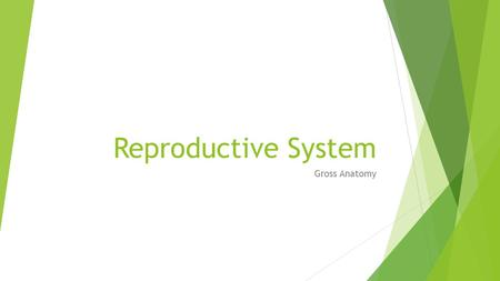 "Reproductive System Gross Anatomy.  Reproductive system appears to ""slumber"" until puberty  Gonads (primary sex organs)  Testes in men  Ovaries in."