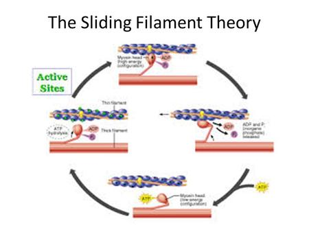 The Sliding Filament Theory. Microstructure of Skeletal Muscle (recap) Actin-Myosin Orientation: Myosin filament (thick). Have long rod-shaped tails with.