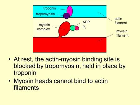 Myosin heads cannot bind to actin filaments